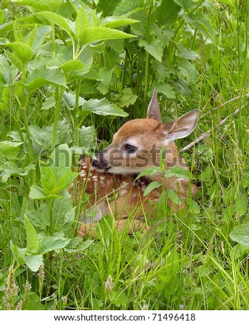 Whitetail deer fawn resting in tall grass.