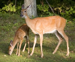 Whitetail deer fawn sniffing the ground with its doe