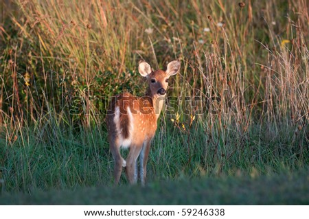 Whitetail deer fawn standing at the edge of a meadow