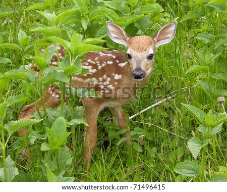 Whitetail deer fawn standing in tall grass.