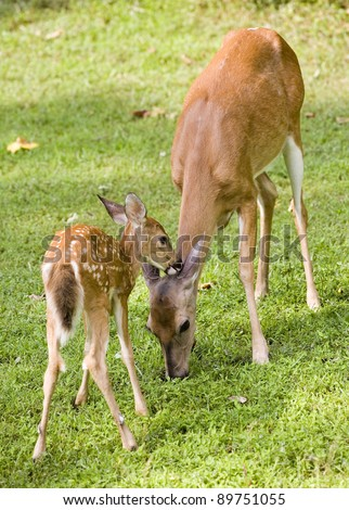 Whitetail deer fawn that looks like its picking something from a doe