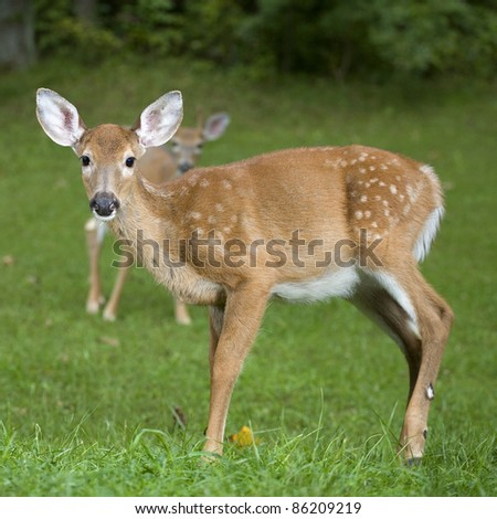 Whitetail deer fawn with a buck in the background out of focus