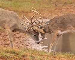 Whitetail Deer Hunting in Fall