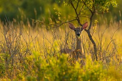 Whitetail deer in field in sunset.