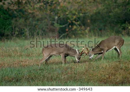 Whitetail deer in Smoky Mountain National Park