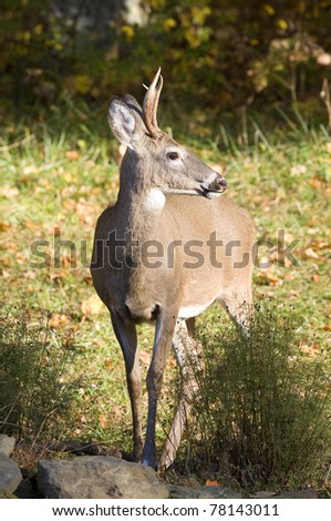 whitetail deer near a forest edge in fall #78143011