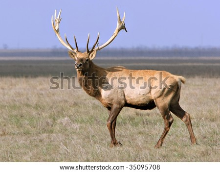 whitetail deer on a meadow. Ascania-Nova. Ukraine