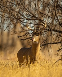 Whitetail Deer Trophy Buck in Fall