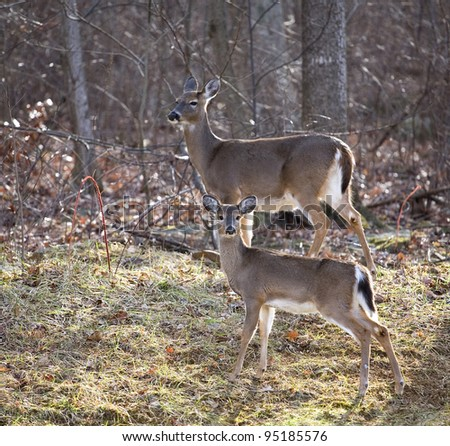 whitetail doe and its yearing near the edge of a forest in late fall
