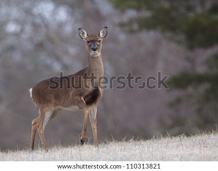 Whitetail Doe Deer in a frosty meadow with raised front foot, Great Smoky Mountains National Park, Tennessee / North Carolina; white tail, white tailed, white-tail, white-tailed,  whitetailed