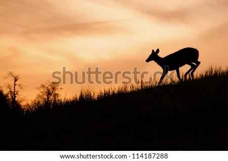 Whitetail Doe Deer running, silhouette, Skyline Drive, Shenandoah National Park, Virginia, USA; White-tail / White tail / White tailed / White-tailed / Whitetailed