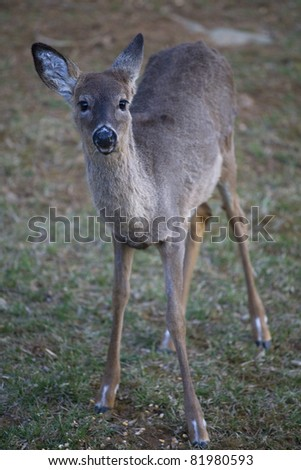 whitetail doe looking at the photographer in grass #81980593