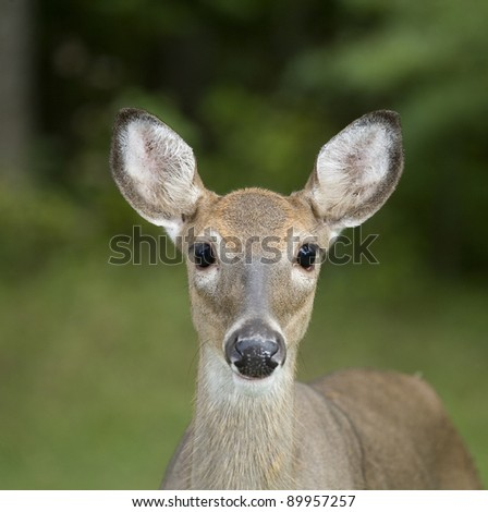 Whitetail doe looking into the camera as the flashes go off