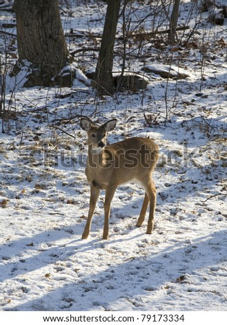 whitetail doe standing near a snowy forest