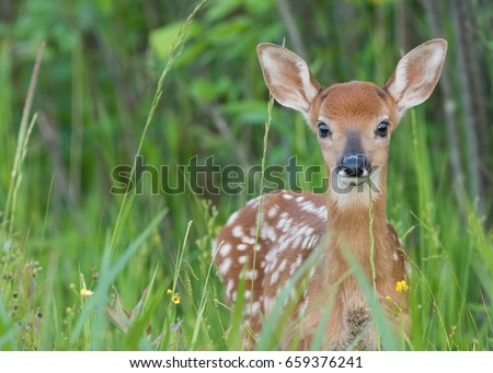 Whitetail fawn up close