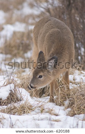 Whitetail grazing in snow (left)