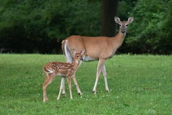 Whitetailed deer fawn and doe in an open field in summer