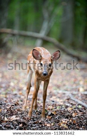 Whitetailed deer fawn in the woods
