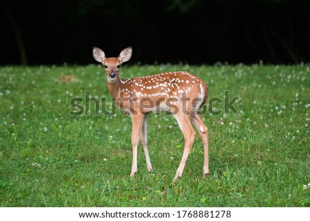 Whitetailed deer fawn standing in an open field in summer