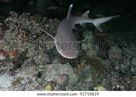 Whitetip reef shark in the coral reef