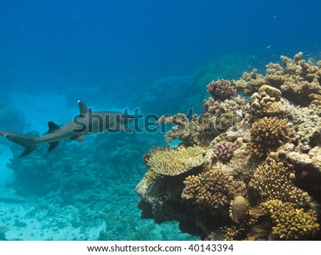 Whitetip Reef Shark (Triaenodon Obesus) Great Barrier Reef Australia