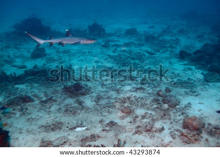 Whitetip reef shark (Triaenodon obesus), Maldives