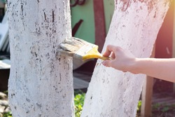 Whitewashing fruit trees trunks as method of protection from heat and sun. Painting young fruit trees by water-based latex paint for introduction of disease, insects and fungus.