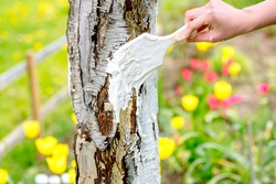 whitewashing of a young apple tree in early spring on a sunny day. protect it from insects and fungal diseases.farmer gardener's hand covers the whitewashed trunk of a young apple tree