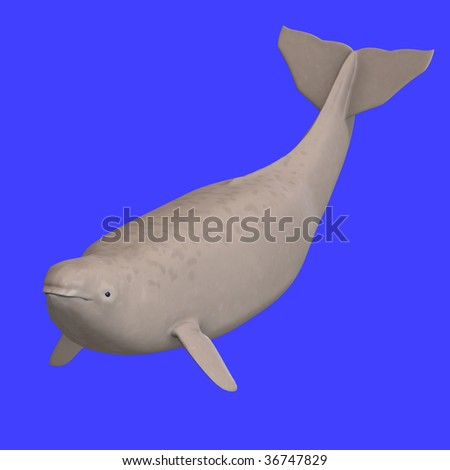 whitle beluga whale calf. 3D rendering with clipping path