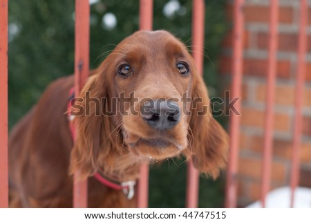 Who goes there!? - very cute guard dog poking his head through the fence and looking you up and down