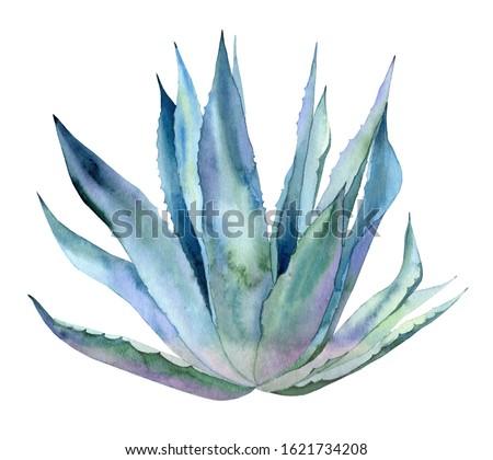 Whole agave plant. Blue exotic leaves. Botanical art. Watercolour illustration isolated on white background.