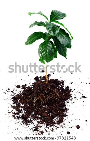 whole coffee arabica plant with leaves, stem and roots isolated on white
