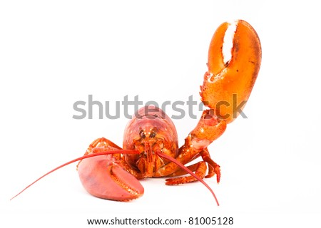 Whole lobster is saying hello with it's claw, isolated on white.