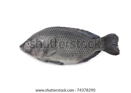 Whole single Fresh raw Tilapia fish isolated on white background
