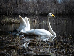 whooper swan couple seeking for food