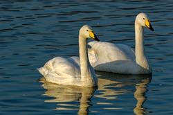 Whooper Swan  (Cygnus cygnus) Adults swimming on lake showing reflection in water.