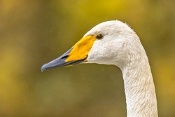 Whooper swan (Cygnus cygnus) head of wildfowl bird against green background. Wildlife scene in nature of Europe. Netherlands