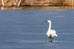 Whooper swan (Cygnus Cygnus) standing on one leg on the ice of a frozen lake in Finland. Whooper Swan rest feet.