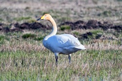 Whooper swan (Cygnus cygnus) walks and feeding on a farm field (Cygnus olor)