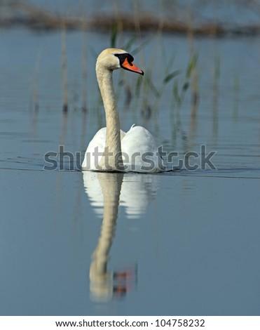 Whooper Swan flying over wetlands