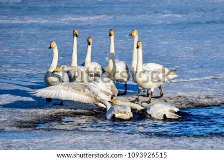 Whooper swan group trying to drive away existing residents from the pond #1093926515