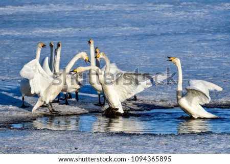 Whooper swan group trying to drive away existing residents from the pond #1094365895