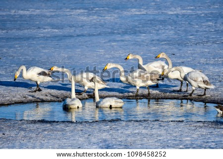 Whooper swan group trying to drive away existing residents from the pond #1098458252