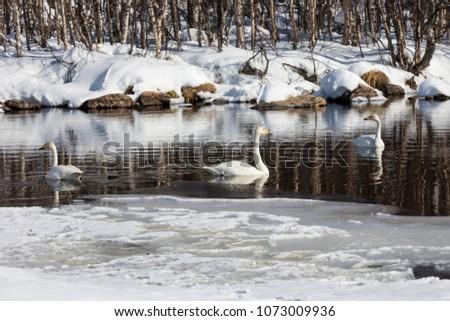 Whooper swan in wintry Lapland #1073009936