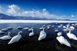 Whooper Swans, Cygnus cygnus, birds in the nature habitat, Lake Kusharo, winter scene with snow and ice in the water, foggy mountain in the background, Hokkaido, Japan.