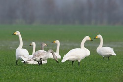 Whooper Swans (Cygnus cygnus), Emsland, Lower Saxony, Germany