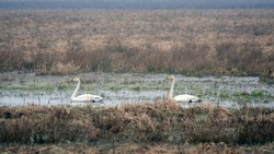 Whooper swans (Cygnus cygnus) swiming and feeding on a flooded farm field