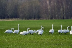 Whooper swans (Cygnus cygnus) walks and feeding on a farm field
