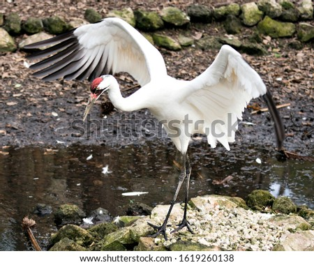 Whooping Crane image with its spread wings standing on a rock by the water in its environment and surrounding. Stock photo ©