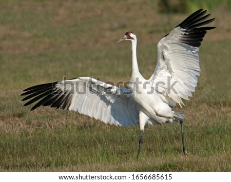 Whooping crane landing in a field in South Texas.  Stock photo ©